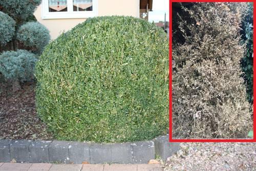 Buchsbaumzünsler: Befallene Pflanzen richtig entsorgen